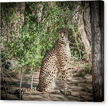 Cheetah Canvas Print by Mary Lee Dereske