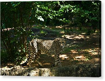 Cheetah On The In The Forest 2 Canvas Print by Douglas Barnett