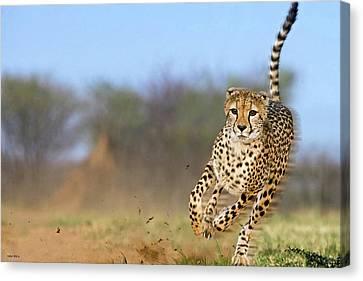 Cheetah, On The Move Canvas Print