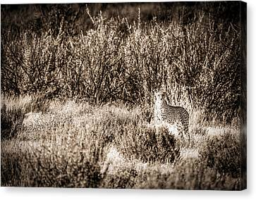 Cheetah Canvas Print - Cheetah On The Prowl - Toned Black And White Namibia Africa Photograph by Duane Miller