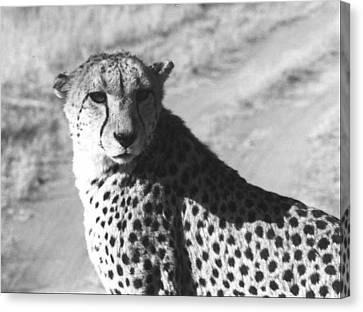 Cheetah Pose Canvas Print by Susan Chandler