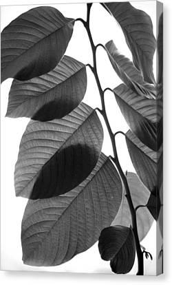 Chermoya Foliage Canvas Print