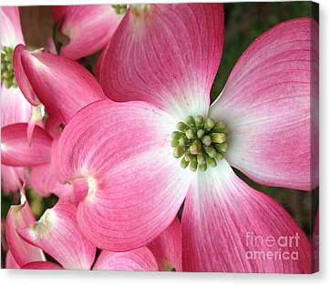 Cherokee Red Dogwood Canvas Print