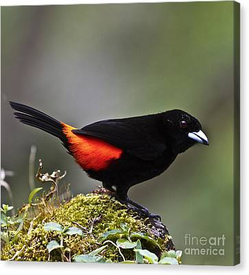 Cherrie's Tanager Canvas Print by Heiko Koehrer-Wagner