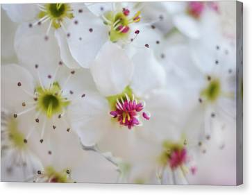Canvas Print featuring the photograph Cherry Blooms by Darren White