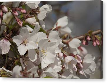 Canvas Print featuring the photograph Cherry Blossom 1 by Lisa Missenda