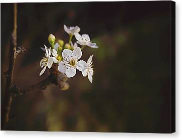 Canvas Print featuring the photograph Cherry Blossom by April Reppucci