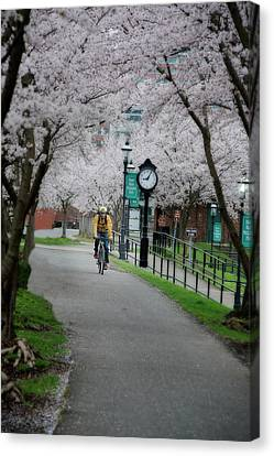 Cherry Blossom Blooming  Canvas Print by Dan Friend