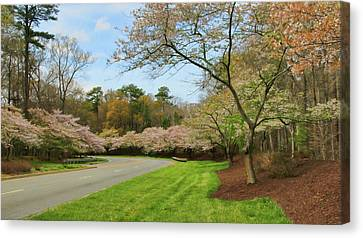 Cherry Blossom Boulevard  Canvas Print by Olahs Photography