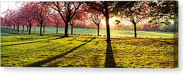 Cherry Blossom In A Park At Dawn Canvas Print by Panoramic Images