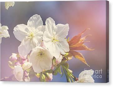 Cherry Blossom In Sunlight Canvas Print