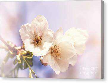 Cherry Blossom Canvas Print by Jane Rix