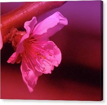 Cherry Blossom Canvas Print by Jeff Swan