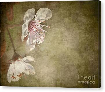 Cherry Blossom Canvas Print by Meirion Matthias