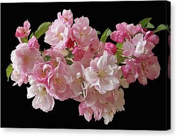 Cherry Blossom On Black Canvas Print by Gill Billington