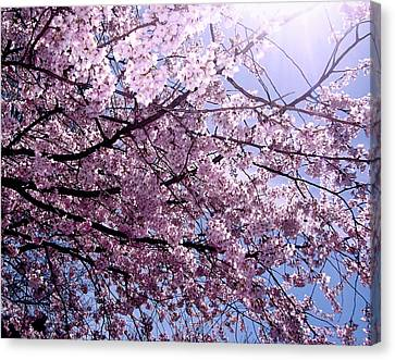 Cherry Blossom Season Canvas Print by Ariane Moshayedi