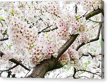 Cherry Blossom Canvas Print by Sky Noir Photography by Bill Dickinson
