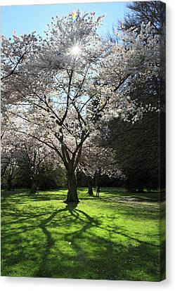 Cherry Blossom Sunshine Canvas Print by Pierre Leclerc Photography