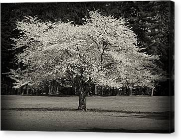 Cherry Blossom Tree - Ocean County Park Canvas Print