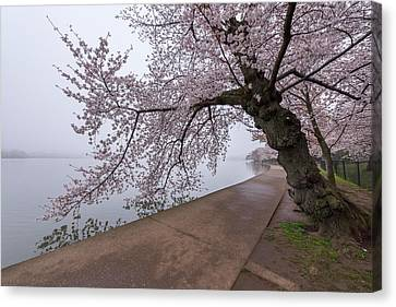 Cherry Blossom Tree In Fog Canvas Print by Michael Donahue