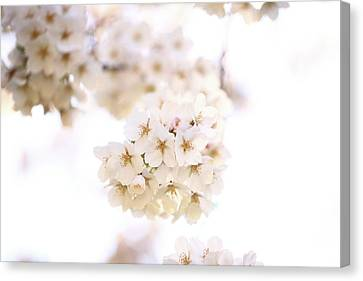 Canvas Print featuring the photograph Cherry Blossoms - A by Anthony Rego