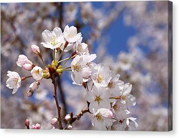 Canvas Print featuring the photograph Cherry Blossoms - B by Anthony Rego