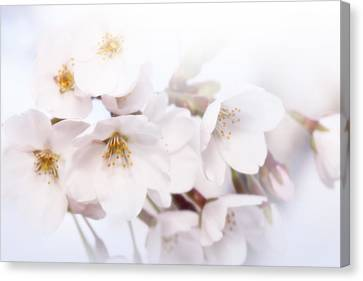 Canvas Print featuring the photograph Cherry Blossoms - C by Anthony Rego