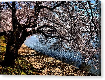 Cherry Blossoms - Washington Dc Canvas Print by Wayne Higgs