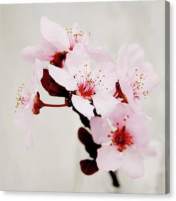 Cherry Blossoms 1- Art By Linda Woods Canvas Print by Linda Woods