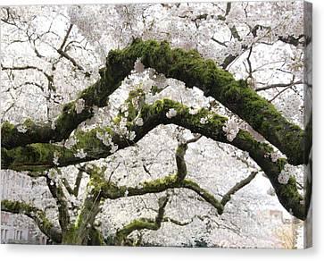 Cherry Blossoms 104 Canvas Print