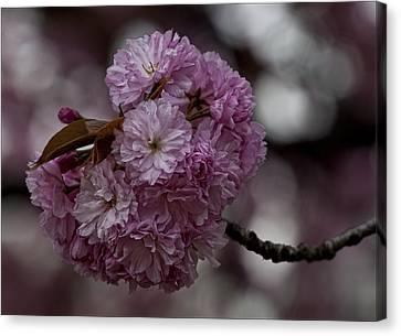Cherry Blossoms 2 Canvas Print by Robert Ullmann