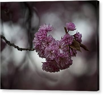 Cherry Blossoms 3 Canvas Print by Robert Ullmann