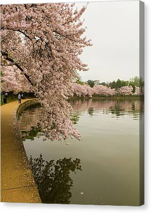 Cherry Blossoms Along The Tidal Basin 8x10 Canvas Print