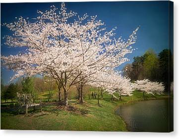 Cherry Blossoms At Meadowlark Two Canvas Print by Susan Isakson