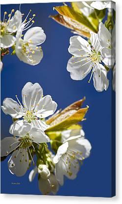 Cherry Blossoms Canvas Print by Christina Rollo