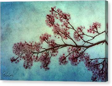 Cherry Blossoms Canvas Print by Christine Hauber