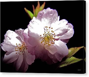 Cherry Blossoms Canvas Print by Debra     Vatalaro