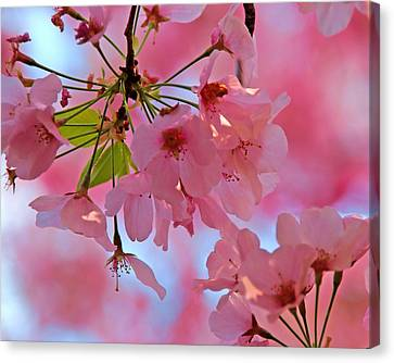 Cherry Blossoms Canvas Print by Don Keisling