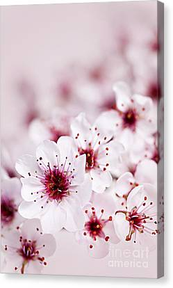 Cherry Blossoms Canvas Print - Cherry Blossoms by Elena Elisseeva