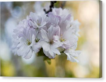 Cherry Tree Canvas Print - Cherry Blossoms by Frank Tschakert