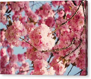 Delicate Canvas Print - Cherry Blossoms Galore by Georgiana Romanovna