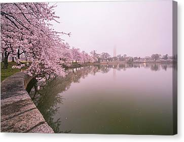 Cherry Blossoms In Fog Canvas Print by Michael Donahue