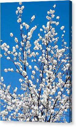 Cherry Blossoms In Julian California Canvas Print