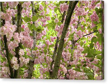 Canvas Print - Cherry Blossoms In Spring, Milan, Italy by Julia Hiebaum
