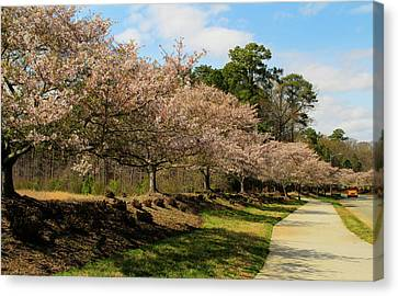 Cherry Blossoms In Springtime Canvas Print by Olahs Photography