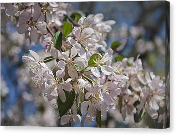 D.c. Canvas Print - Cherry Blossoms by Joan Carroll