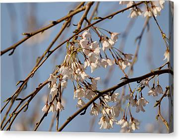 Cherry Blossoms Canvas Print by Julie Niemela
