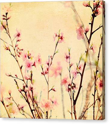Cherry Blossoms Canvas Print by Kim Fearheiley