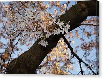Cherry Blossoms Canvas Print by Megan Cohen