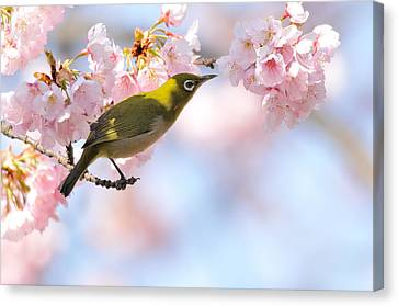 Cherry Blossoms Canvas Print by Myu-myu